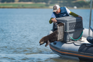 Surrogate-reared otter released into Elkhorn Slough by Monterey Bay Aquarium